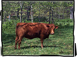 grass fed beef cow